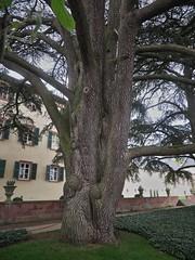 Libanonzeder (nordelch61) Tags: badhomburg schlosgarten blumen blüten baum bäume libanonzeder tulpen frühling hessen