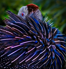 Here's lookin' at you. (Nancy Goodenough) Tags: vulturine guineafowl vulturineguineafowl