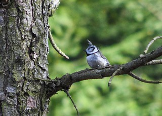 Crested Tit (Tofsmes)