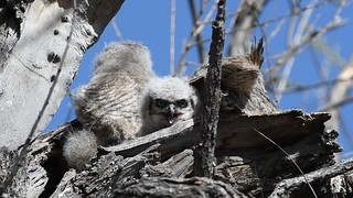 Great Horned Owls Video4