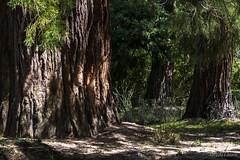 Secuoyas en el bosque (allabar8769) Tags: bejar elbosque salamanca secuoyas árboles