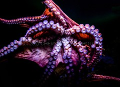 Tentacles (Cheryl Atkins) Tags: baltimore noflash colorful nationalaquarium tentacles animalkingdom canon5dmarkiii colorphotography octopus squid