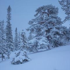 Fulufjället Vinter V (Gustaf_E) Tags: berg dalarna fjäll forest fulufjället gran kväll landscape landskap nationalpark pine pines skog snow snö spruce sverige sweden tall tree träd vinter winter woods