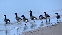 ganzen op het strand (Omroep Zeeland) Tags: ganzen strand