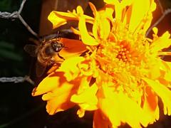 En acción (DanyelGar001) Tags: insectos abejas bee flower light work life vida naturaleza nature