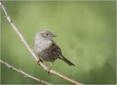 Dunnock (cconnor124) Tags: songthrush songbirds smallbirds birdphotography ukbirds naturephotography nature wildlife wildlifephotography wildbirds canon100400lens canon7dmk11
