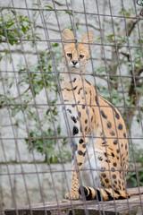 Serval | Tama Zoological Park (ナギ (nagi)) Tags: serval サーバル 多摩動物公園 ユリ