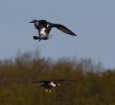 Peregrine Sequence (2 of 4) (Robin M Morrison) Tags: peregrinefalcon avon gorge bristol prey pigeon