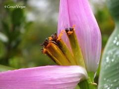 Banana´s flower (✿ Graça Vargas ✿) Tags: flower flordabananeira banana´sflower graçavargas ©2017graçavargasallrightsreserved pink 17805040417 ouropreto minas brasil