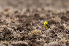 Yellowhammer (Emberiza citrinella) singing in field (Ian Redding) Tags: british emberizacitrinella emberizidae european uk yellowhammer arable bird birdsong bright bunting fauna field ground male nature perch perched ploughed singing song songbird wildlife yellow yellowbreast yellowhead