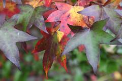 IMG_3198a (ManFromOz) Tags: ©geoffsmith gemaxphotographics autumn blackheath bluemountains autumnleaves