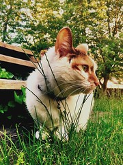 Spring (olsonk1015) Tags: cute soft fur whiskers grass spring greeneyes cats calico