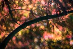 All The Lights In The Sky Are Stars (drop_m) Tags: meyergorlitz meyer gorlitz optik meyeroptikgorlitz meyergorlitztrioplan50mmf29 meyeroptikgorlitztrioplan50mmf29 trioplan trioplan50mmf29 f29 manual manuallens primelens prime bokeh bubbles bubble vintage vintagelens old oldlens canon canon70d 70d tree leafs warm sunset light lights spring 2017 italy wood woods 50mm