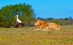 Convivencia (Gonzalo Viedma González) Tags: cigueña stork vaca ternero cow calf dehesa dehesadeabajo sevilla seville españa spain andalucia andalusia animals primavera