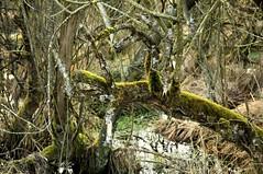 Dschungel im Wilden Moor von Schwabstedt, Nordfriesland (12) (Chironius) Tags: schwabstedt nordfriesland schleswigholstein deutschland germany allemagne alemania germania германия niemcy szlezwigholsztyn holz wood legno madera bois hout moor sumpf marsh peat bog sump bottoms swamp pantano turbera marais tourbière marécageuse ogień płomień płomienie