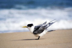 One good tern (simonjmarlan) Tags: tern bird australia beach waves sand