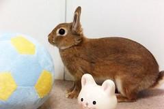 Ichigo san 636 (Ichigo Miyama) Tags: いちごさん。うさぎ rabbit bunny netherlanddwarf brown ichigo ネザーランドドワーフ ペット いちご うさぎ