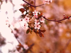 early spring colours (Nikos Karatolos) Tags: larisa greece spring flowers colours beautiful nature samyang 50mm f12 olympus pen epl7