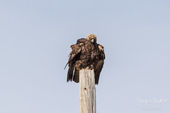 Golden Eagle shakes off the morning chill