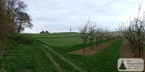 Essenheimer Funkturm und Obstblüte am Ober-Olmer Wald