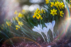 crocus and daffodils (kderricotte) Tags: flare helios40285mm15 bokeh depthoffield sonya7ii daffodil flower crocus ground plant outdoor lensflare