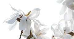 Magnolia Stellata-8021 (WendyCoops224) Tags: 24105mml 70d canon eos garden spring ©wendycooper magnolia stellata