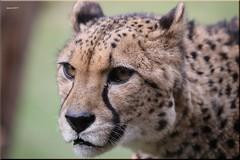 0057 cheetah (modekopp) Tags: canoneos5dmarkivef100400mm canoneos5dmarkiv ef100400 canoneos5d 100400 eos5d canon eos 5d mark ivef100400mm iv100400 ef100400mm ivef100400 modekopp eifel
