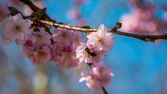 Zierkirschen-Blüte mit Biene 01 (p.schmal) Tags: panasonicgx80 hamburg farmsenberne frühjahr zierkirschen blüte