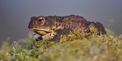 Toad (Gavin MacRae) Tags: toad commontoad bufobufo amphibian nature nikon scottishwildlife scottishnature highlandnature highlandwildlife highlandsofscotland scotland wildlife
