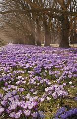 kroku1b (jinka/yaminolady) Tags: crocus krokus flowers spring nature polish landscape
