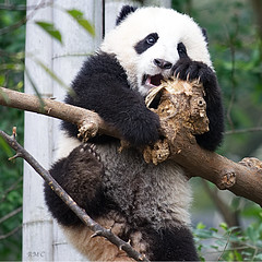 help! (Rob McC) Tags: giant panda cub animal fauna bear chengdu china sichuan climbing cute scared scary mammal