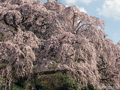 Sakura trees at west Yoshino area (2) (double-h) Tags: omd em1markii omdem1markii mzuikodigitaled40150mmf28pro 桜 さくら 枝垂れ桜 しだれ桜 西吉野 奈良県 下市町 sakura cherryblossoms weepingcheerytree weepingsakura naraprefecture nishiyoshino westyoshino shimoichitown