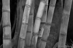 Bamboo Garden (Sockenhummel) Tags: fuji x30 fujifilm finepix fujix30 schwarzweis sw mono einfarbig uni monochrom blackwhite bw bambus bamboo tropenhaus botanischergarten