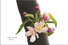 Earth Day (Aquamarine Images) Tags: earthday earth spring springflowers trees floweringtrees pinkflowers aquamarineimages