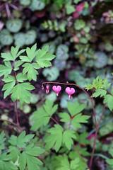 Three Hearts (orkomedix) Tags: canon 6d garden flower 24105l outdoor italy heller garda