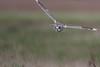 R17_0966 (ronald groenendijk) Tags: cronaldgroenendijk 2017 asioflammeus rgflickrrg animal bird birds birdsofprey groenendijk nature natuur natuurfotografie outdoor owl owls ronaldgroenendijk roofvogels shortearedowl velduil vogel wildlife