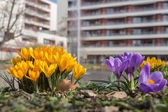 Yellow City Spring - March 2017 II (boettcher.photography) Tags: city stadt heidelberg germany deutschland badenwürttemberg march spring frühling märz krokus crocus flowers blumen natur nature sashahasha boettcherphotography
