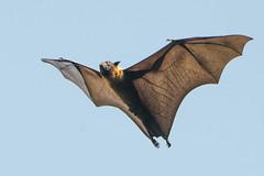 fruit bat-3 (S. Nysteen) Tags: srilanka fruitbat kandy centralprovince lk flyingfox