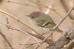 The ruby (rdroniuk) Tags: birds smallbirds kinglet passerines kinglets rubycrownedkinglet reguluscalendula oiseaux passereaux roiteletàcouronnerubis roitelet sedgewickforestoakville
