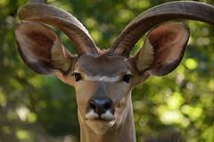 @ Zoo Duisburg 31-08-2016 (Maxime de Boer) Tags: grote koedoe zoo duisburg germany deutschland duitsland animals dieren dierentuin gods creation schepping