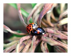 Harlequin Ladybirds - double trouble (jeannie debs) Tags: harlequin ladybird ladybug red black insect macro invasive outdoor nature artgrowninnature coccinellidae 117picturesin2017 bug cannibalistic cannibal