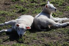 we look sweet , but we are Sweet (excellentzebu1050) Tags: lambs newlife newborn birth lamb farm field animal animals closeup twins coth5