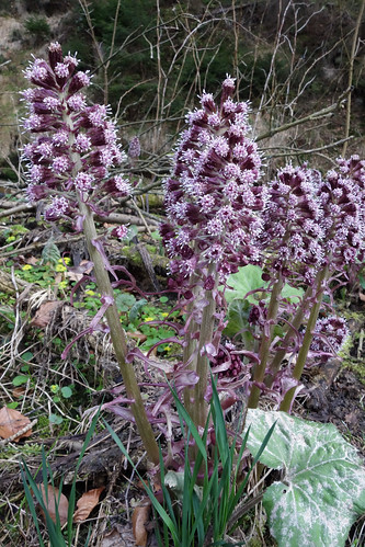 Petasites hybridus - butterbur - Gewöhnliche Pestwurz