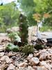 Ladyfinger and clover (smallcurio) Tags: austin texas unitedstates us ladybirdjohnsonwildflowercenter cactus ladyfinger clover echinocereuspentalophus taxonomy:binomial=echinocereuspentalophus taxonomy:common=ladyfingercactus alicoche dogtail devilsfingers