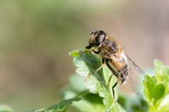 Eristalis pertinax / Kegelbijvlieg (peter.lindenburg) Tags: leiden stevenshof syrphidae zweefvlieg hoverfly kegelbijvlieg eristalispertinax