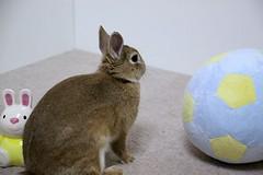 Ichigo san 658 (Ichigo Miyama) Tags: いちごさん。うさぎ ichigo san rabbit bunny netherland dwarf brown ネザーランドドワーフ ペット いちご うさぎ