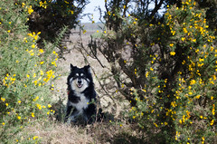 gap in the gorse 15/52 (sure2talk) Tags: gapinthegorse taivas finnishlapphund gorse yellow newforest nikond7000 nikkor1855mmf3556afs we1642017 52weeksfordogs 1552
