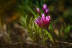 Scilla-like Onion (dwolters2) Tags: spring rockytop flowers yakima yakimacounty cowichecanyon fragile onion scillalike