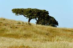 Santa Bárbara de Padrões, Azinheiras_DSC8775 (x-lucena) Tags: santabárbaradepadrões azinheira quercusilex