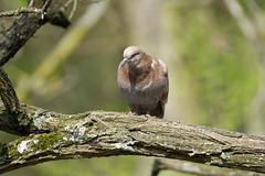 a pigeon on a branch / un pigeon sur une branche  (2) (Franck Zumella) Tags: pigeon bird oiseau branch branche red rouge marron